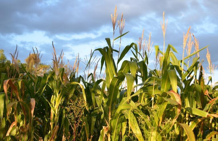 玉米豆粕期价为何涨跌两重天?
